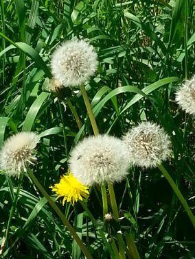 a-sea-of-dandelions-02