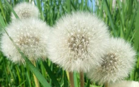mopana a sea of dandelions