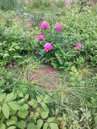 mopana-beautiful-pink-peony-03
