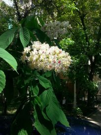 mopana-candle-in-the-wind-chestnut-flower-01