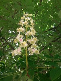 mopana-candle-in-the-wind-chestnut-flower-05
