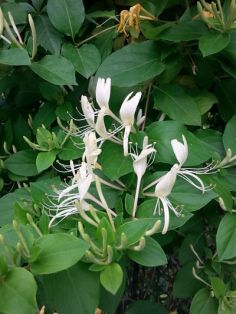 mopana-honeysuckle-scent-and-honey-01_opt