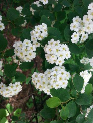 mopana-white-little-flowers-04