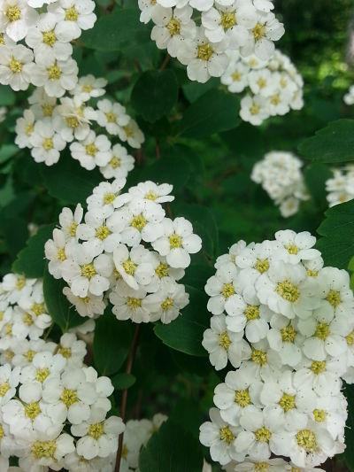 mopana-white-little-flowers-07