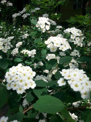 mopana-white-little-flowers-09