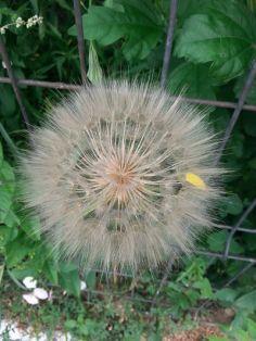 mopana-giant-dandelion-02