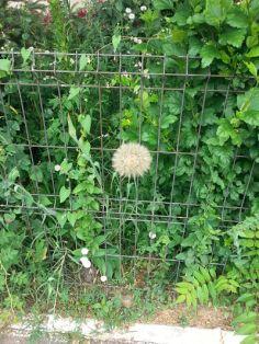 mopana-giant-dandelion-04