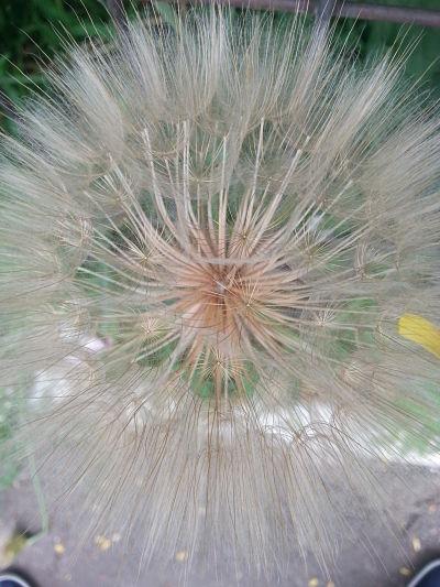 mopana-giant-dandelion-07