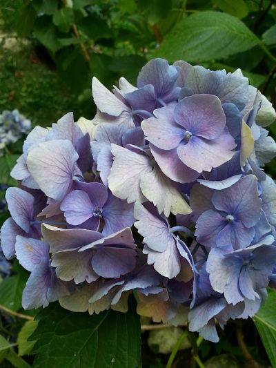 mopana-blue-hydrangea-02