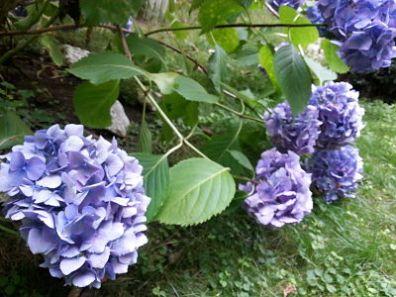 mopana-blue-hydrangea-05