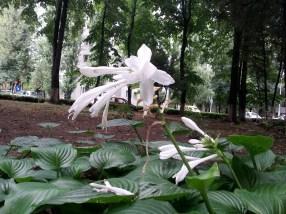 mopana-madonna-lily-after-the-rain-04