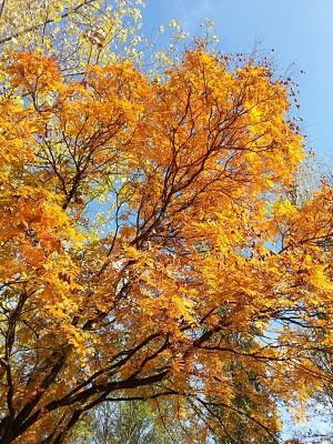 mopana-a-golden-autumn-02