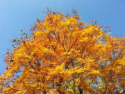 mopana-a-golden-autumn-04