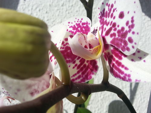mopana-spotted-orchid-02