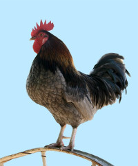 cockerel or rooster