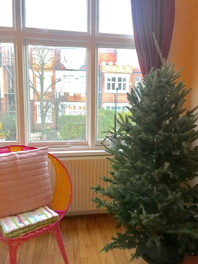 Real Christmas Tree, nordic fir