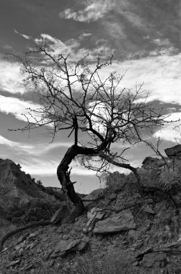 Twisted Tree in Caprock Canyon