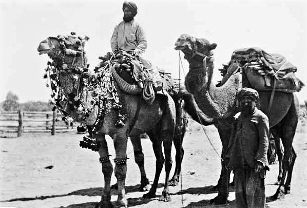 afghan_camels