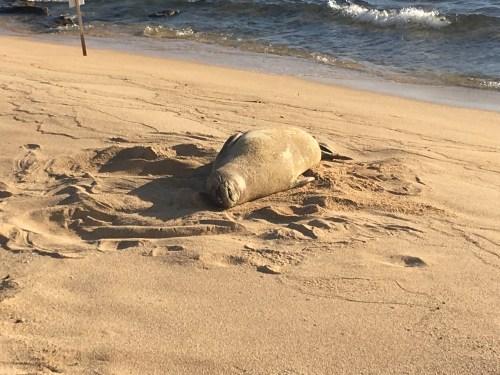 Seal on Poipu Beach