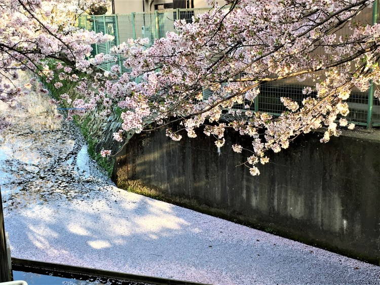 Cherry blossom trees lined along a canal in Philosopher's Path, Kyoto