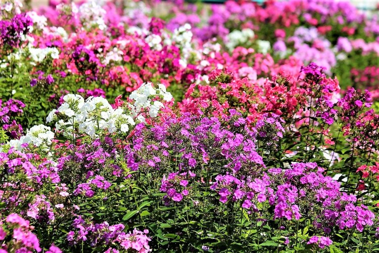 Phlox in various colours
