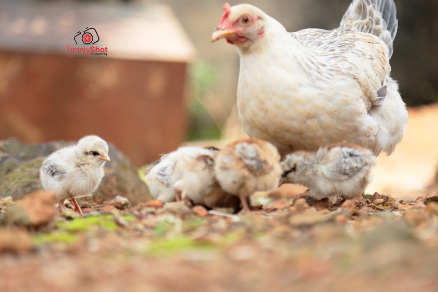 Mother when and her chicks