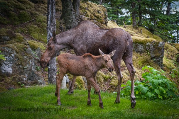 moose, orphan, moose calf, Haines Alaska, ungulate