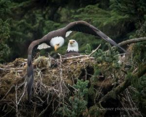 bald eagle, wildlife photography, nest