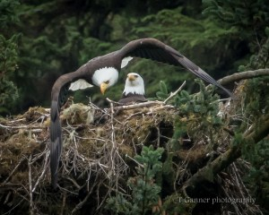 bald eagle, wildlife photography, nest