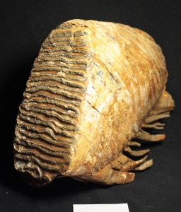 mammoth_tooth2