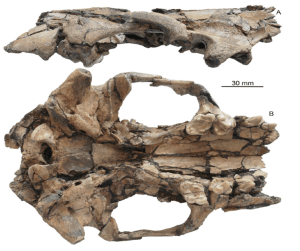 This is the skull of the new species, Siamogale melilutra. The specimen is the holotype from Shuitangba, number ZT-10-03-064b. This is Figure 3 in the paper.