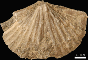 Shelly hard part (made of calcite) of a Mississippian brachiopod.