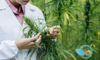 Cannabis' Pain-Relieving Property Revealed, Flavonoids Cannflavin A and Cannflavin B: New Study