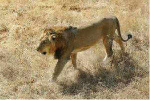 Shift Asiatic lions from Gujarat to Madhya Pradesh: SC to Centre