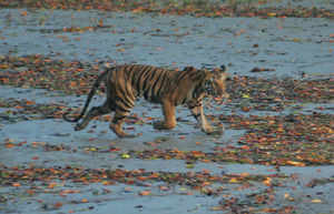 Nothing truly Bengali about Royal Bengal Tiger?