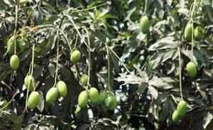 Dalit woman hospitalized after being thrashed on mango stealing charge