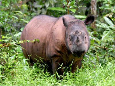 Andatu, a Sumatran rhino, one of the rarest large mammals on earth,at Way Kambas National Park in eastern Sumatra. (AFP photo)