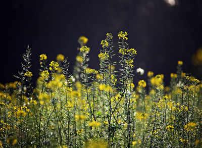 Mustard set to be India's 1st GM food, gets regulator nod