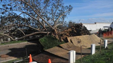A 50-foot Torrey pine was felled by fierce winds Sunday night at Fort Rosecrans National Cemetery. Photo by Chris Stone