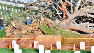 Workers begin to cut up a tall Torrey pine that fell across a road and near headstones at Fort Rosecrans National Cemetery. Photo by Chris Stone