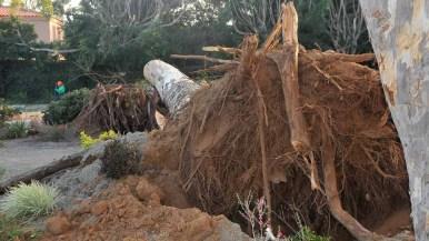 A 100-foot eucalyptus tree fell near a church in Point Loma. Photo by Chris Stone