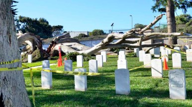 Caution tape shields site of fallen Ficus at Fort Rosecrans National Cemetery. Photo by Chris Stone