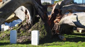 Oldest Ficus at Fort Rosecrans National Cemetery split at its base, but avoided headstones. Photo by Chris Stone