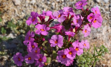 Bigelow's monkey flower bloom along S3 highway in Anza-Borrego Desert State Park. Photo by Chris Stone
