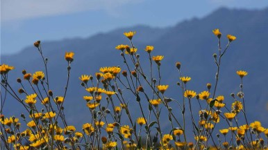 Desert Sunflowers abound along Henderson Canyon Road in Borrego Springs. Photo by Chris Stone
