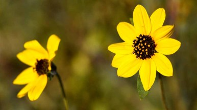 Gray desert sunflowers bloom in Anza-Borrego State Park. Photo by Chris Stone