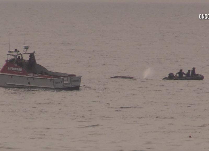 Injured whale surrounded by boats