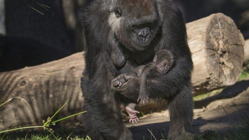Denny the gorilla and mom