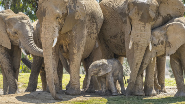 Baby elephant born at San Diego Zoo