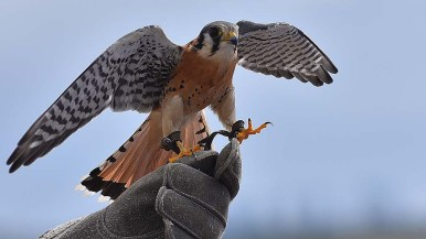 An American Kestrel, the smallest falcon in North America, is spotted throughout the San Diego area. Two falcons were shown at the 2019 Love Your Wetlands Day.
